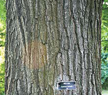 Northern Red Oak-1